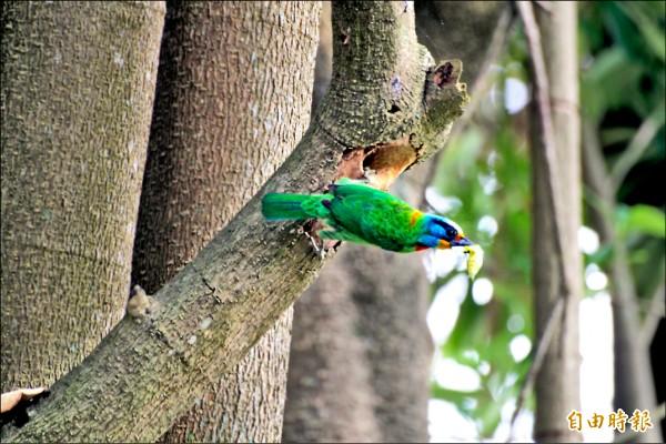 公鳥叼著昆蟲回巢讓母鳥享用。(記者陳祐誠攝)