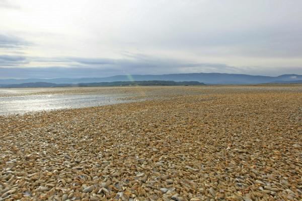 有外媒報導指出,日前智利南部外島海岸竟有數千噸的蛤蜊被沖刷上岸。(法新社)