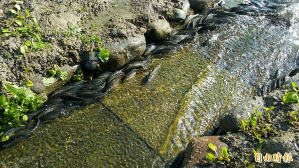 宜蘭縣礁溪龍潭湖圓吻鯝魚溯溪產卵景象,今早開始了。(記者游明金攝)