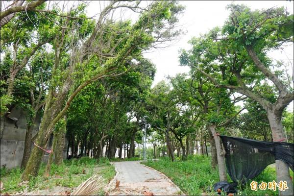 「樹密成災」的鹿港鎮生態性休閒公園,不見平地森林之美,反而透光性差「陰森森」。(記者劉曉欣攝)