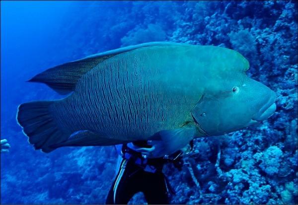 瀕臨絕種保育類動物、俗稱「龍王鯛」的蘇眉魚遭綠島民宿業者獵殺,引起社會大眾撻伐。(資料照,圖由林務局提供)