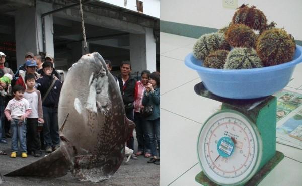 曼波魚與馬糞海膽,都像龍王鯛一樣從隨處可見變成瀕臨絕種。(本報合成圖,記者劉禹慶、游太郎攝)