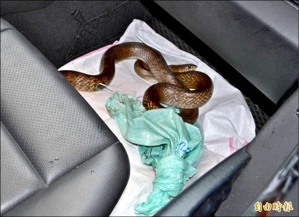 南蛇竄出米袋後,盤據在轎車內,模樣嚇人。(記者湯世名攝)