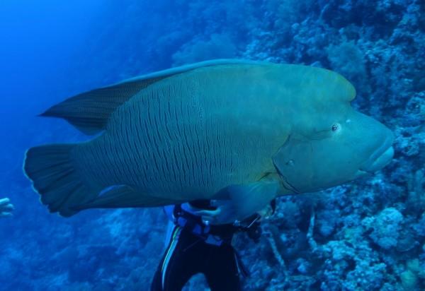 台東綠島民宿業者陳明憲獵殺珍貴保育魚種「龍王鯛」,引起民眾撻伐。(圖由林務局提供)
