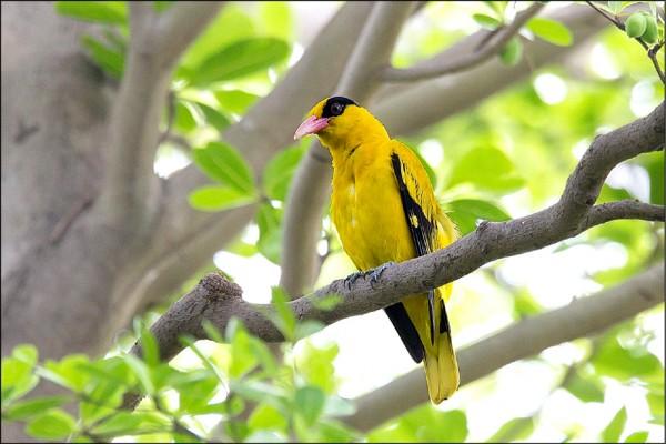 黃鸝鳥近來出現新強公園築巢育雛。(鳥友莊先生提供)