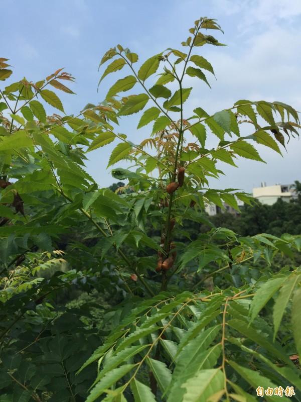 荔枝椿象在台灣欒樹上不停爬。(記者許展溢攝)
