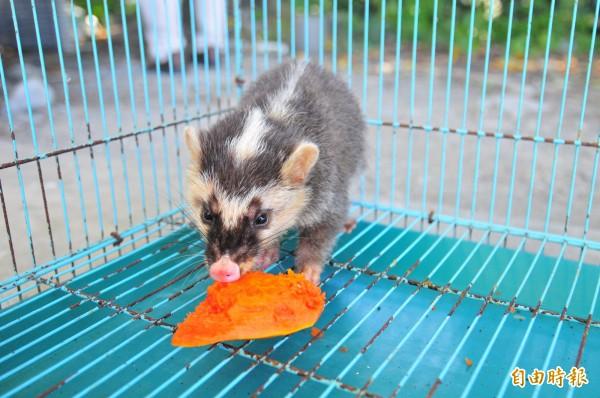台東防檢局本月新增確診2例野生動物感染狂犬病,今年已累計3例確診病例;農業處呼籲民眾加強防範,確實遵守「二不一要」的防疫原則。(資料照,記者花孟璟攝)