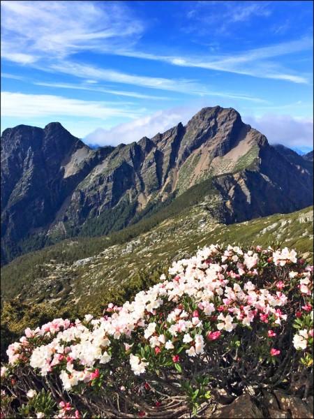 玉山杜鵑盛開花期到六月中- 地方- 自由時報電子報