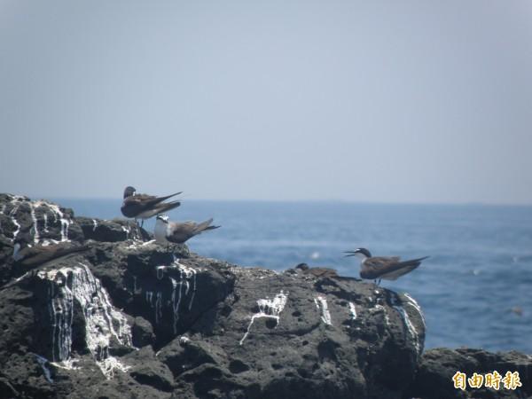 燕鷗會棲息在無人島礁岩,避開天敵侵襲。(記者劉禹慶攝)
