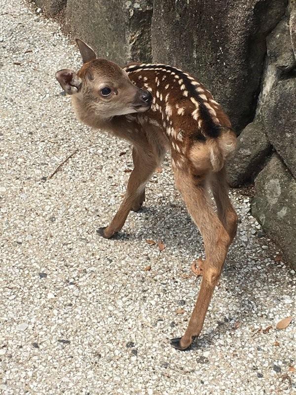 日本網友呼籲遊客們別在亂摸小鹿了。(圖片取自推特)