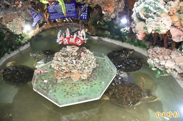 本應在大海中遨遊的綠蠵龜,如今只能在這小天地游來游去。 (記者張忠義攝)