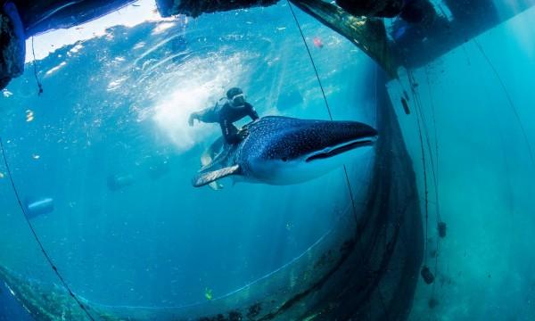 印尼近來破獲非法豢養、販售海中生物集團。(圖片擷取自衛報)