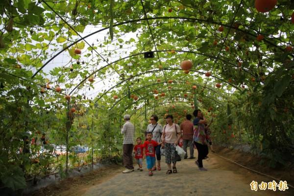在每年的造橋南瓜節中,南瓜隧道一直是主要特色景點之一。(記者鄭鴻達攝)
