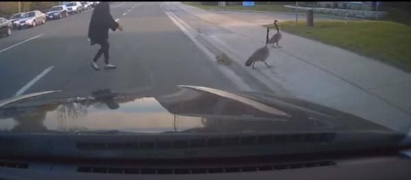 鵝爸爸、鵝媽媽帶著一群鵝寶寶,大搖大擺過馬路。(圖擷取自YouTube)