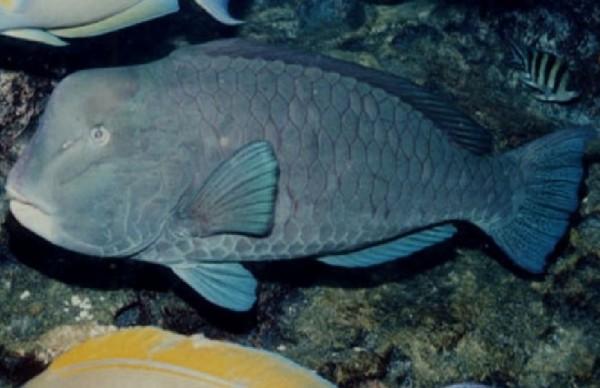 隆頭鸚哥魚全台僅剩近30隻,為二級保育魚類。(圖片由警方提供)