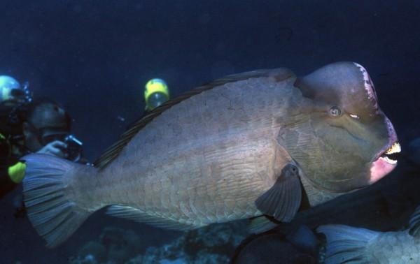 隆頭鸚哥魚全台剩不到30尾。(圖由林務局提供)
