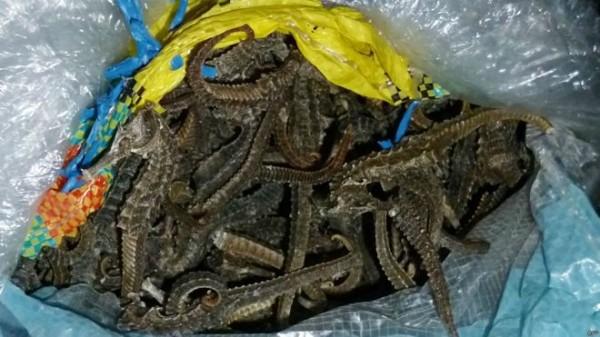 秘魯查獲一艘中國漁船走私800萬隻海馬,價值達540萬美元(約新台幣1億7300多萬元)。(法新社)