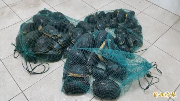 花蓮75隻保育類食蛇龜,險些被賣到中國,目前已全數交由林務局花蓮林管處代為保管。  (記者王峻祺翻攝)