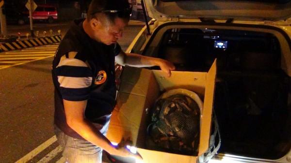 海巡人員在花蓮光復鄉台九線路邊,攔查到洪姓盤商的白色轎車,車內查獲75隻二級保育類食蛇龜。(海巡署花蓮海巡隊提供)