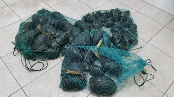 海巡、保七從盤商手中救回75隻食蛇龜,將擇期野放。(海巡署提供)