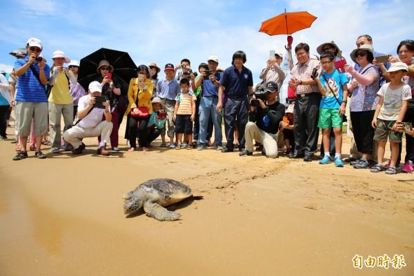 屏東縣議員洪慈綪指稱:綠蠵龜復育過度破壞海洋,卻遭生態專家反駁,綠蠵龜不會吃軟珊瑚,他們吃珊瑚上的海藻,是珊瑚生態的保護者。(資料照,記者何玉華攝)