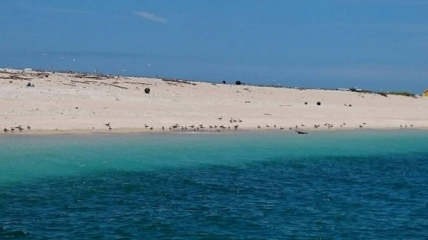 澎澎灘今年湧入大量燕鷗,成為繁殖棲息重鎮。(圖由澎湖縣政府農漁局提供)