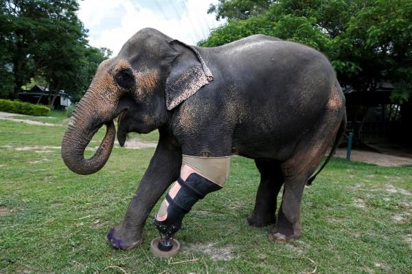 大象摩哈(mosha)散步。(露透)