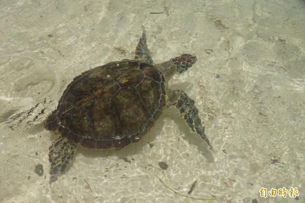 2隻受傷的綠蠵龜在東沙群島被野放。(記者黃佳琳攝)
