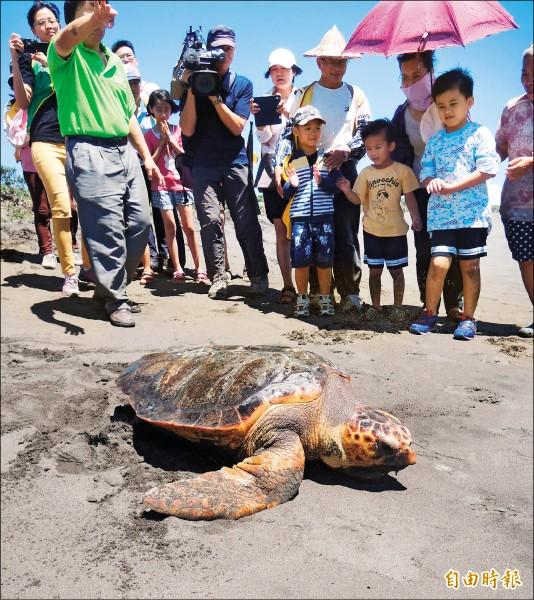 「TRY TRY」有玳瑁臉形及背甲鋸齒狀特徵,可能是國內發現的第一隻混種海龜。(記者江志雄攝)