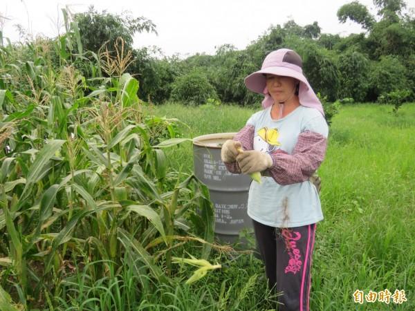 颱風來臨前,農民趕著搶收農作物。(記者詹士弘攝)
