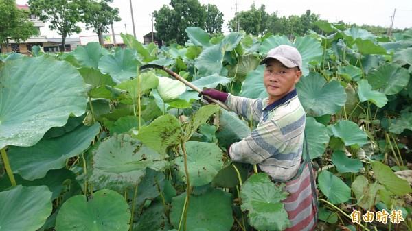 白河賴姓農民上午在蓮田採收成熟的蓮蓬,內有蓮子。(記者楊金城攝)