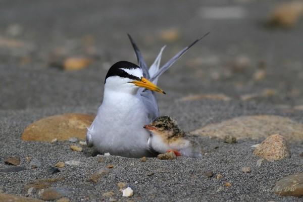 美麗的小燕鷗身影,是2級保育類珍貴稀有的野生鳥類。(圖為吳志典攝影)
