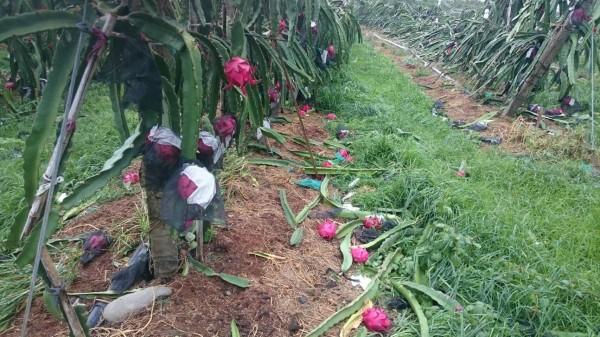 台東和高屏紅龍果種植面積佔全台4分之1,也傳出災情。(圖由農委會提供)