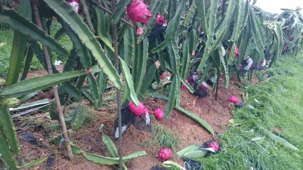 尼伯特颱風造成台東為數不少的紅龍果落果和枝條折斷。(圖由農委會提供)