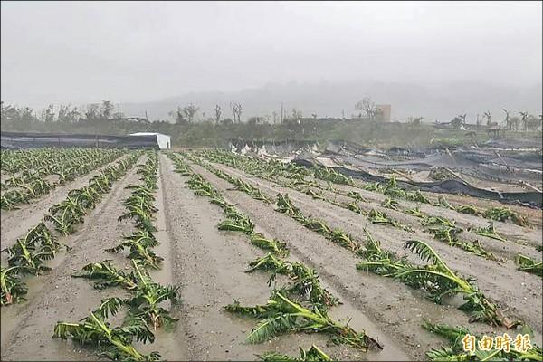 颱風尼伯特挾帶強風陣雨,正值產期的香蕉、木瓜倒伏嚴重,農民欲哭無淚。(記者邱芷柔攝)