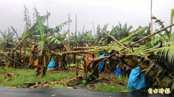香蕉園伏倒災情慘重。(記者蔡清華攝)