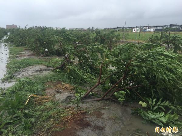 台東釋迦樹倒成一片。(資料照,記者張存薇攝)