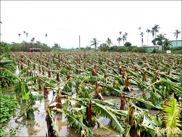 盛產香蕉的旗山,此次風災造成香蕉嚴重倒伏。(記者黃佳琳攝)