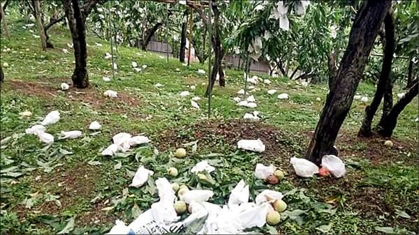 尼伯特颱風造成新竹縣尖石鄉水蜜桃受災7公頃,累計災損金額約為51萬元。(圖由新竹縣政府提供)