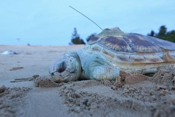 金門料羅灣日前發現死亡的綠蠵龜,背部還有作為野放記錄的發報器。(圖由金門縣政府提供)
