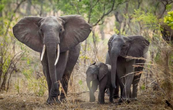 非洲馬拉威地區大象生活空間不足,計畫將被運次合適地。(美聯社)