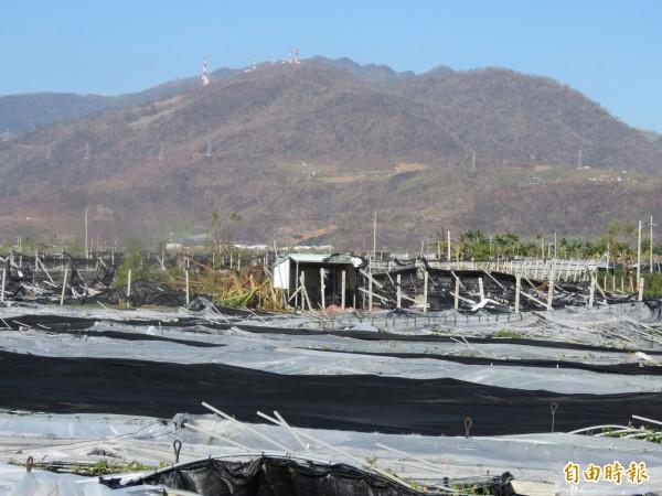 知本山脈被尼伯特吹到枯黃,山下的花葉園也全倒。(記者黃明堂攝)