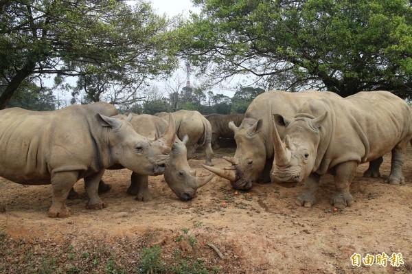 犀牛保育是當前舉世矚目的生態議題。(記者黃美珠攝)