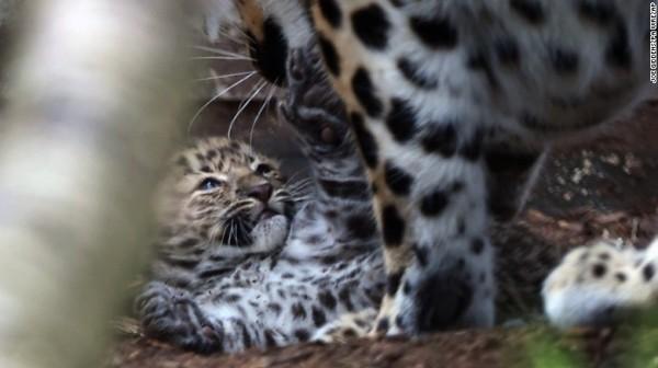 才五週大的牠們尚未被命名,園方希望牠們有助於遠東豹的物種保存及延續。(圖擷取自CNN)