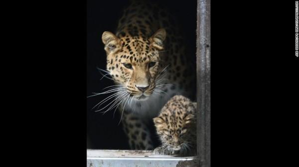 遠東豹原產於俄羅斯遠東地區的山林,被認為是世界上最稀有的大型貓科動物,全球大概剩不到270隻,其中的200隻分布在世界各地的動物園內。(圖擷取自CNN)