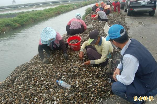 台西魚塭外產業道路聚集村民,在蛤殼堆撿拾倖存文蛤。(記者陳燦坤攝)