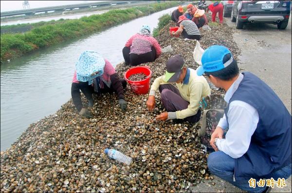 台西魚塭外產業道路聚集村民,在蛤殼堆撿拾倖存文蛤。 (記者陳燦坤攝)