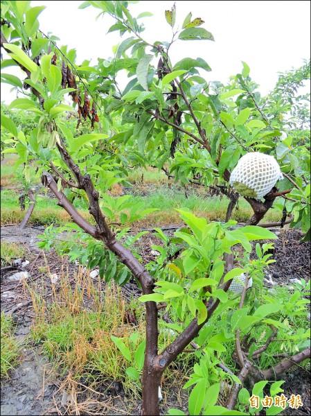 大目釋迦幾乎被尼伯特颱風橫掃,當時枝頭上僅剩寥寥無幾的果實。(資料照,記者張存薇攝)