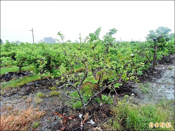 受風災影響的釋迦果樹已慢慢展出葉子。(記者張存薇攝)