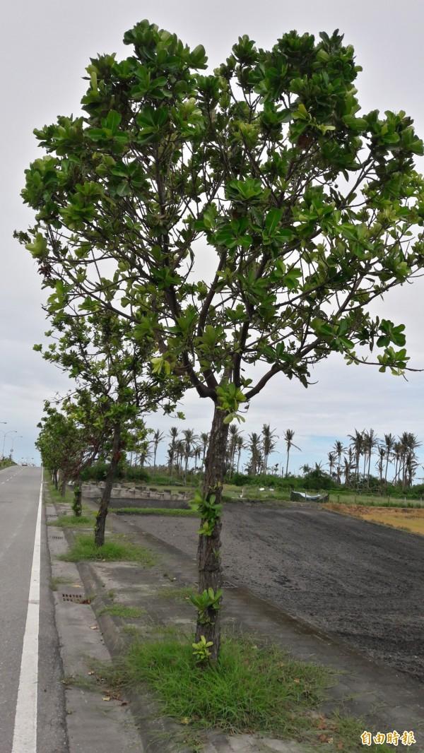 台東市臨海路的瓊崖海棠在尼伯特颱風中幾乎毫髮無損。(記者黃明堂攝)